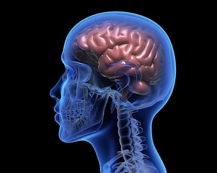Whole brain model - brain